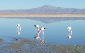 Flamingos in der Atacama Wüste